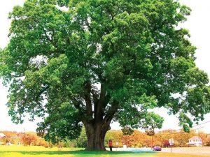 Thông tin tổng quan về cây gỗ Gụ và những sản phẩm làm từ chúng 4