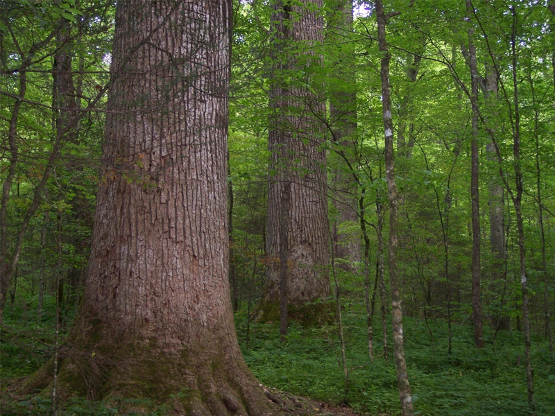 Đường kính của thân cây gỗ gụ từ 0.6–0.8m, thỉnh thoảng cũng có những cây phát triển to hơn 1m.