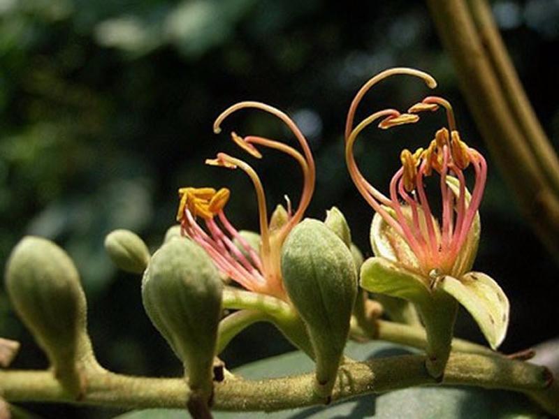 Cụm hoa hình chùy, dài từ 10–15cm, phủ đầy lông nhung màu vàng hung. Hoa thì có từ 1–3 cánh, cánh nạc, dài khoảng 8mm. Bầu thì có cuống ngắn, phủ đầy lông nhung, vòi cong, dài từ 10 – 15mm, phủ đầy lông nhung, vòi cong, dài 10 – 15mm, nhẵn, núm hình đầu.