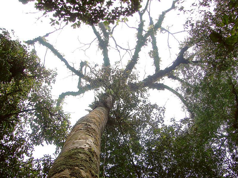 Cây Gỗ Gụ chính là dòng thực vật thân gỗ, thuộc họ Đậu, tăng trưởng chậm. khi trưởng thành sẽ có độ cao khoảng 20–30m.