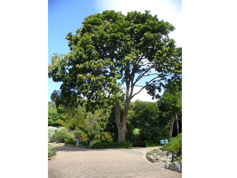 Hiện nay, Gỗ Gụ thuộc nhóm gỗ quý hiếm và đang được liệt kê vào trong danh sách cây gỗ quý hiếm cần được bảo tồn do nạn khai thác và chặt phá rừng quá mức.