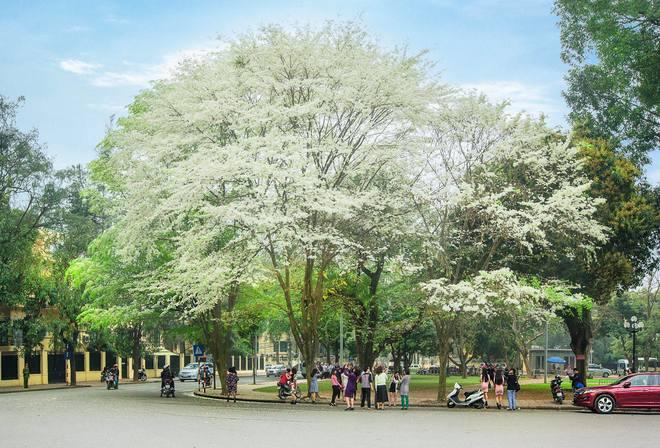 Hình ảnh cây sưa trắng