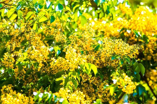 Hoa của cây sưa vàng