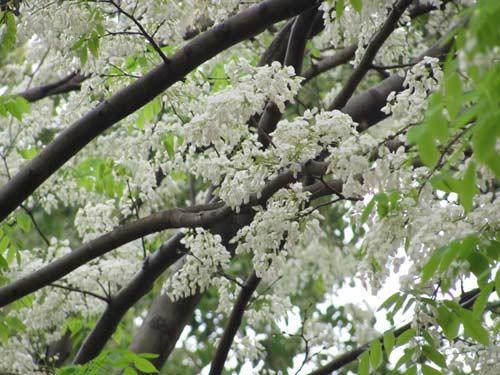 Hoa của cây sưa trắng