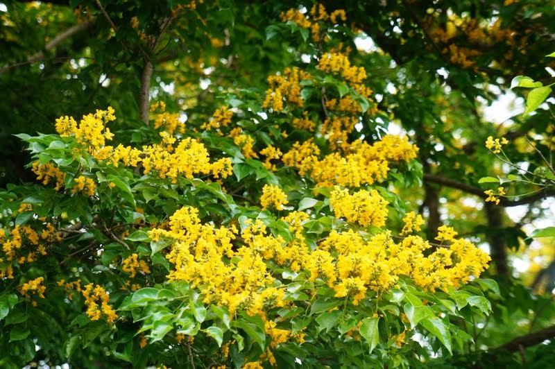 Hoa cây sưa vàng