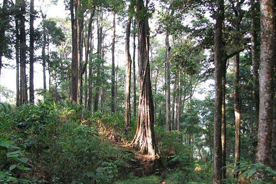 Tại Việt Nam, cây đàn hương đã được đưa ra nghiên cứu và trồng thử nghiệm thành công.