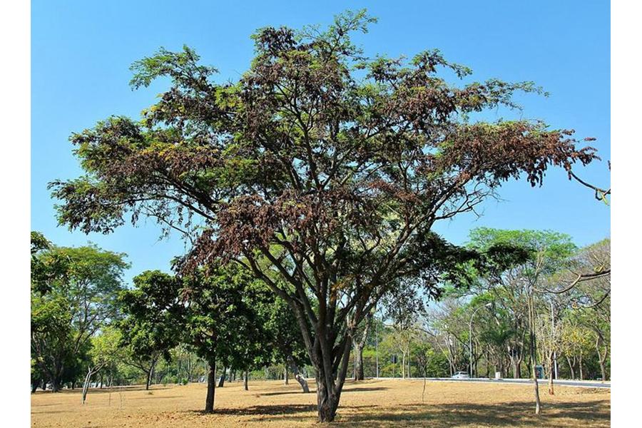 Gỗ hồng mộc Brazil (Dalbergia Nigra) cùng chi Dalbergia với gỗ đen Châu Phi.