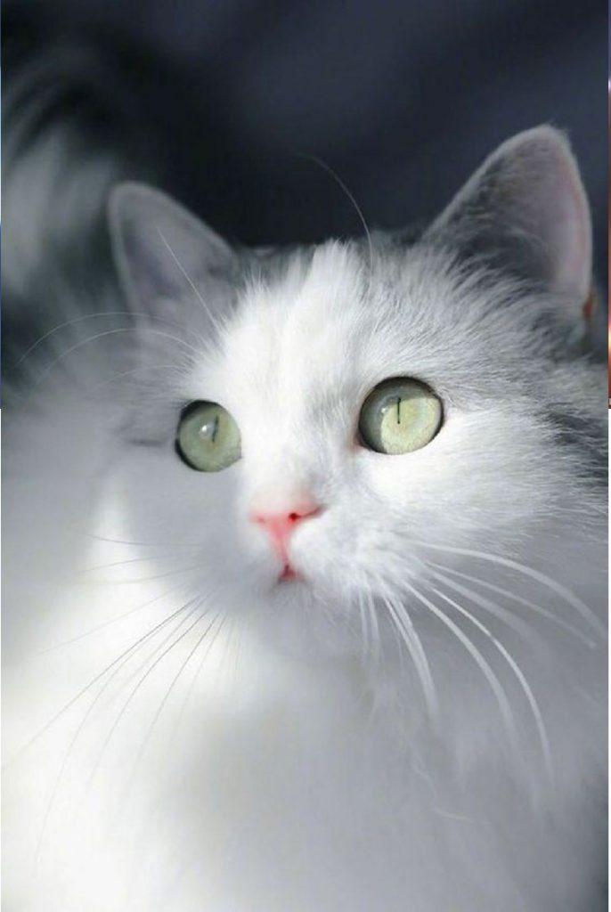 Ảnh đẹp 3d mèo trắng