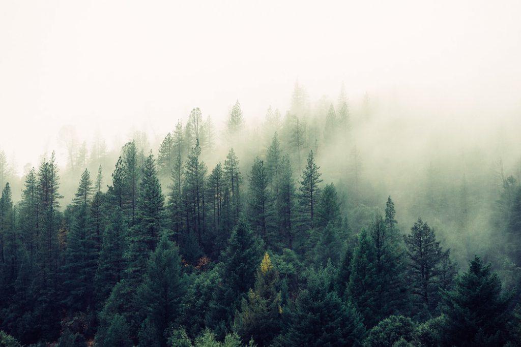 Hình nền rừng cây thông xanh dành cho máy tính
