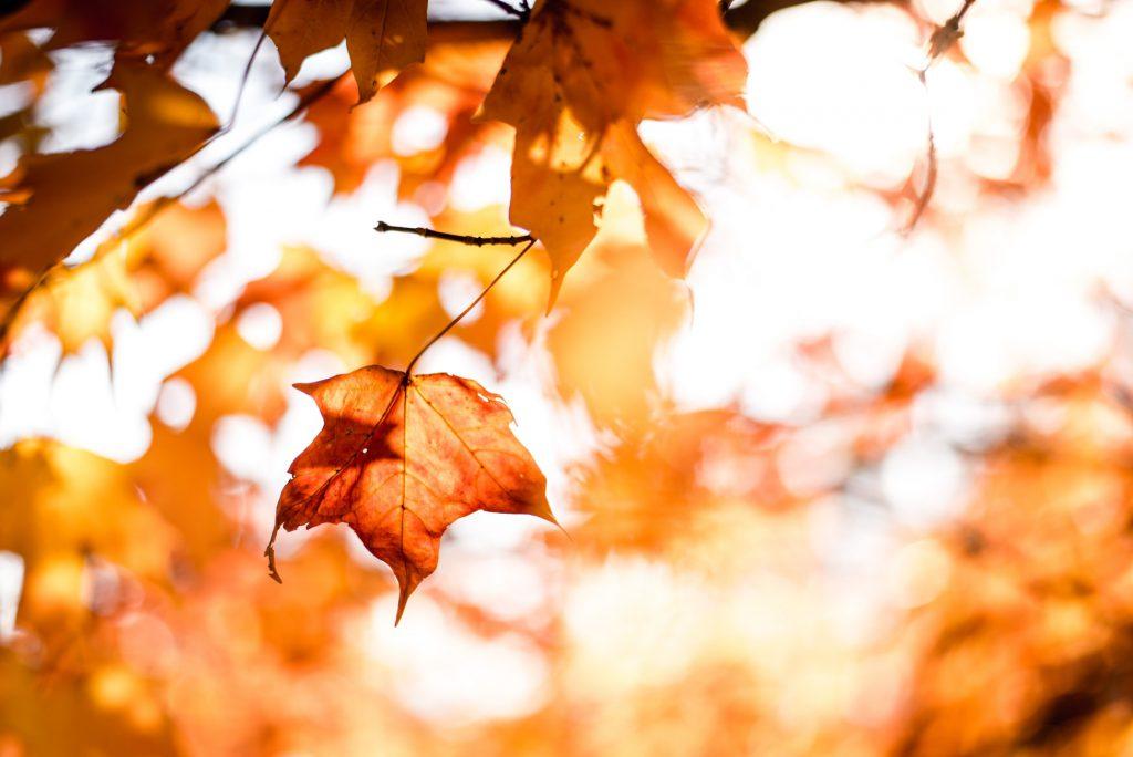 Hình nền thiên nhiên đẹp về lá vàng của mùa thua đep (Kích thước hình lớn 1950 x 1300)