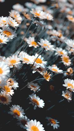 Hình nền điện thoại Full HD hình hoa cúc đẹp rực rở