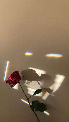 Hình nền điện thoại cây hoa hồng cô đơn
