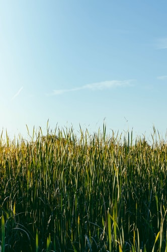 Hình nền đồng lúa dành cho iPhone