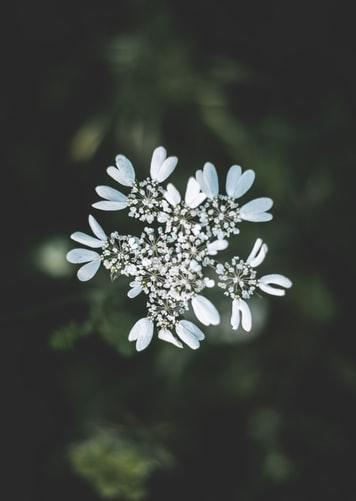 Hình nền iPhone 7, iPhone 7S, iPhone 7 Plus về hoa màu trắng cực đẹp