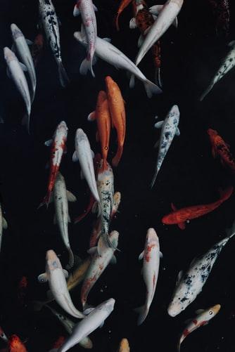 Hình nền đàn cá bơi lội dành cho iPhone XS siêu ngầu