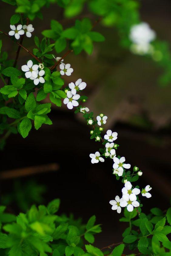 Hình nền hoa màu trắng dành cho điện thoại đẹp