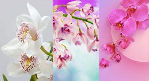 Hình nền hoa lan dành cho điện thoại đẹp