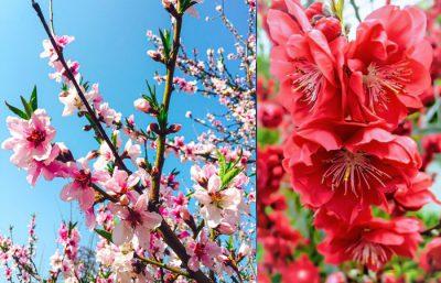 Hình nền hoa đào đẹp