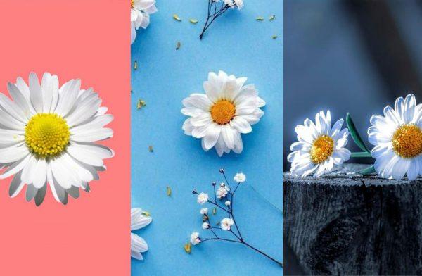 Hình nền hoa cúc đẹp nhất